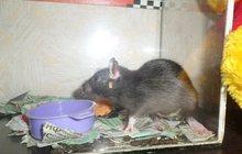 Отдам крыса (мальчик) и аквариум к нему в Кемерово