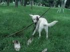 Фотография в Собаки и щенки Продажа собак, щенков Девочка, 5 месяцев. Покупали как лабрадора, в Киеве 0