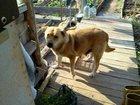 Изображение в Потерянные и Найденные Найденные Взрослая собака, девочка, ищет хозяев! ! в Кирове 0