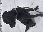 Фото в Собаки и щенки Вязка собак 2-х годовалый лабрадор ищет девочку для  в Кирове (Кировская область) 0