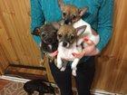 Фото в Собаки и щенки Продажа собак, щенков СРОЧНО! ! ! Малыши ЧИХУА-ХУА ищут себе новую в Киржаче 7500