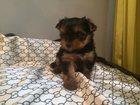 Изображение в Собаки и щенки Продажа собак, щенков Девочка йоркширский терьер 15. 10. 15 г. в Клине 15000