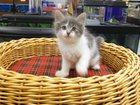 Фотография в   Милый котёнок ищет доброго хозяина в Клине 0