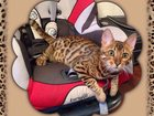 Foto в Кошки и котята Вязка Ищем кота для первой вязки. Кошке 1 год . в Коломне 0