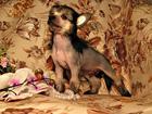 Китайская хохлатая собака фото в Коломне