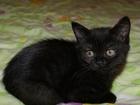 Изображение в Кошки и котята Продажа кошек и котят Продам котят шотландской породы. Страйты в Комсомольске-на-Амуре 13000