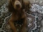 Фото в Собаки и щенки Продажа собак, щенков спаниель девочка семь месяцев отдам в добрые в Комсомольске-на-Амуре 0