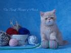 Изображение в Кошки и котята Продажа кошек и котят Продам экзотического котика, окрас кремовый в Комсомольске-на-Амуре 0