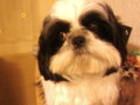 Скачать изображение Вязка собак Вязька бесплатная 33787551 в Комсомольске-на-Амуре