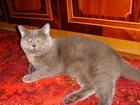 Скачать бесплатно фотографию Продажа кошек и котят Вязка с британским котом 32557331 в Костроме