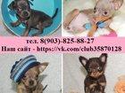 Фото в Собаки и щенки Продажа собак, щенков ТОЙ-ТЕРЬЕРА чистокровных красивееееннных в Костроме 7500