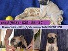 Фото в Собаки и щенки Продажа собак, щенков В продаже красивые щенки мопса по хорошим в Костроме 0
