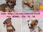 Фотография в Собаки и щенки Продажа собак, щенков Чихуахуа чистокровных щеночков, Той-терьера в Костроме 0
