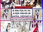 Фото в Собаки и щенки Продажа собак, щенков ХАСКИ черно-белых красивееенных щеночков в Костроме 1