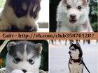 Изображение в Собаки и щенки Продажа собак, щенков ХАСКИ чистокровных щеночков разных окрасов в Костроме 8000