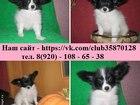 Изображение в Собаки и щенки Продажа собак, щенков Очаровательные ПАПИЙОНЫ от заводчика! ! ! в Костроме 0