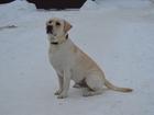 Просмотреть foto Вязка собак Красавчик палевый лабрадор ищет подружку для вязки 38310748 в Костроме
