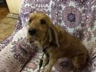 Изображение в Потерянные и Найденные Найденные Найдена в марте 2017 г. собака породы английский в Костроме 0
