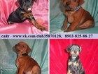 Фото в Собаки и щенки Продажа собак, щенков Карликового пинчера (Цвергпинчера) красивеньких в Костроме 8500