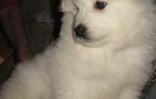 Самоеды (арктический шпиц, белый волк)