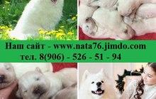Белоснежные мишки самоедики, самые красивые щеночки