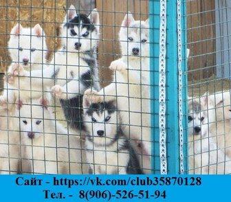 Фото в Собаки и щенки Продажа собак, щенков Продаем недорого щенков: порода - хаски, в Костроме 111