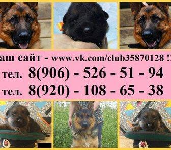 Фото в Собаки и щенки Продажа собак, щенков Щенков Немецкой овчарки от крупных чистокровных в Костроме 0