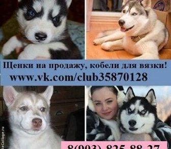 Изображение в Собаки и щенки Продажа собак, щенков ХАСКИ чистокровных щеночков разных окрасов в Костроме 0