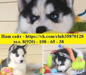 Фото в Собаки и щенки Продажа собак, щенков Продам голубоглазых чёрно-белых щеночков в Костроме 0