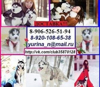 Фото в Собаки и щенки Продажа собак, щенков ХАСКИ чистокровных щеночков разных окрасов в Костроме 0