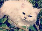 Фотография в Кошки и котята Вязка Персидская кошечка шиншилового окраса, почти в Краснодаре 0