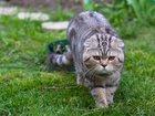 Фото в Кошки и котята Вязка Шотландский вислоухий кот Алекс приглашает в Краснодаре 2000