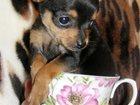 Фотография в   Продам очаровательных щенков той-терьера. в Краснодаре 5000
