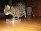 Фото в Отдам даром - Приму в дар Отдам даром Одам взрослого кота (2-3 года) в хорошие в Краснодаре 5