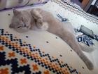 Смотреть фото Вязка кошек Вязка с шотландским котом 38261137 в Краснодаре