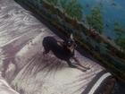 Увидеть фото Вязка собак Девочке породы той-терьер мульти нужен кобель 38603320 в Краснодаре