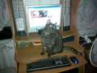 Смотреть фотографию Вязка Шотландский кот прямоухий редкого окраса черный дым приглашает дам к себе! Развязан, 38773077 в Кореновске