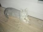 Фотография в Кошки и котята Вязка Ищем кошку для кота. в Краснодаре 0