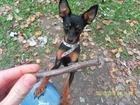 Изображение в Собаки и щенки Вязка собак энергичный, красивый той-терьер ищет девочку. в Краснодаре 1000