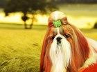 Увидеть фото Вязка собак Яркий кобель ши-тцу приглашает на вязки 39237687 в Краснодаре