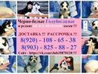 Фотки и картинки Сибирский хаски смотреть в Краснодаре