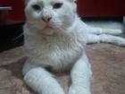 Смотреть изображение  Мейн-кун на вязку, очень крупный и ласковый кот, 40925051 в Краснодаре