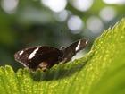 Скачать foto Разное Яркие Живые Бабочки из Тайланда 41966610 в Краснодаре