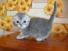 Шотландский котик -непоседа
