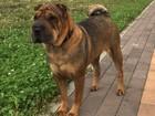 Скачать foto Потерялись животные Пропала собака! В Юбилейном микрорайоне, 50773036 в Краснодаре