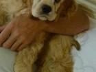 Скачать foto Вязка собак кокер спаниель американец 52207840 в Горячем Ключе