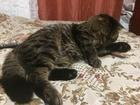 Уникальное фотографию  Ищем кошечку на вязку, к себе в гости 52485576 в Краснодаре