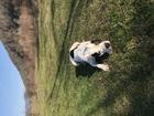 Увидеть foto Вязка собак Красивый мальчик ищет красивую девочку 53779962 в Краснодаре