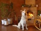 Скачать бесплатно foto Вязка собак Кобель БШО Белая швейцарская овчарка для вязки 57206079 в Краснодаре