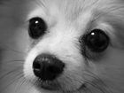 Новое foto Вязка собак Ищем померанского шпица для вязки 67808460 в Краснодаре